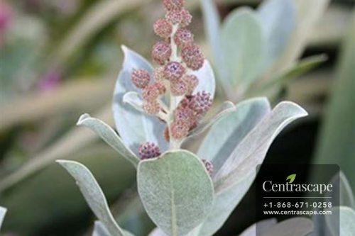 Centrascape - Trees - Silver Mongrove 1