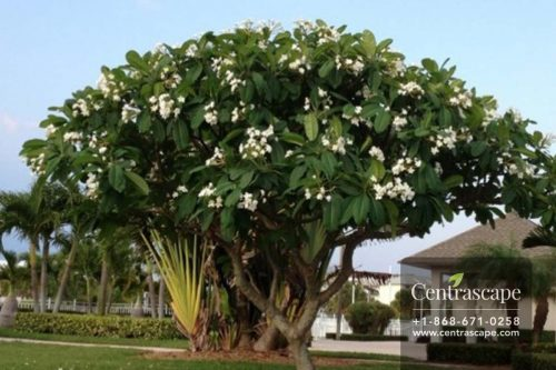 Centrascape - Trees - White Frangipani