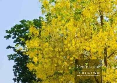 Centrascape - Trees - Yellow Cassia 1