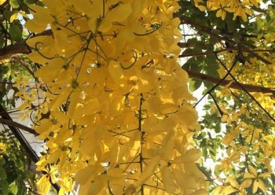 Centrascape - Trees - Yellow Cassia 2