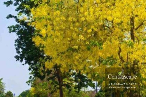 Centrascape - Trees - Yellow Cassia