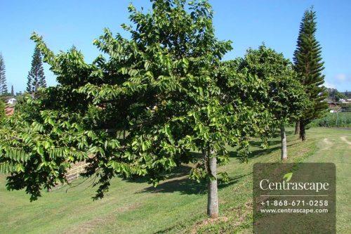 Centrascape - Trees - Ylang Ylang