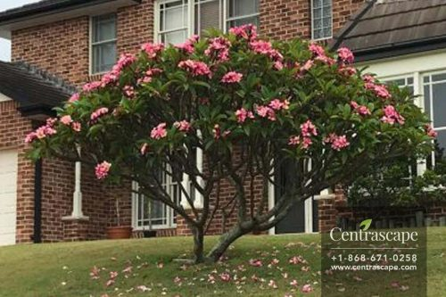 Centrascape - Trees - pink frangipani