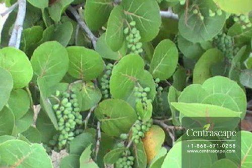 Centrascape - Trees - sea grape tree
