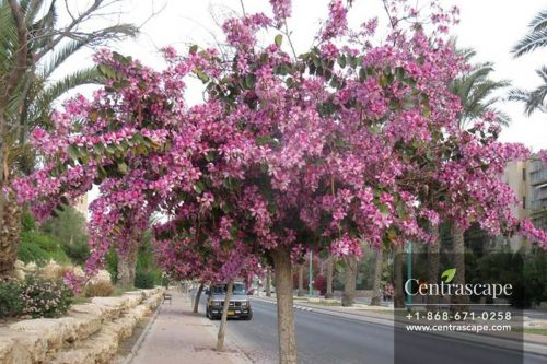 Centrascpe - Trees - Orchid Tree