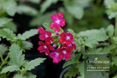Centrascape - Verbena