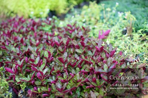 Centra Scape 224 - Wafil hemigraphis