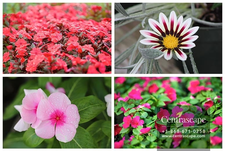 Centrascape Annuals Plants Care