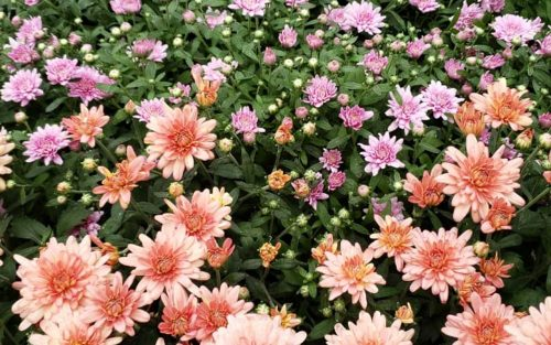 Centrascape - Annuals - Chrysanthemum