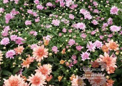 Centrascape - Annuals - Chrysanthemum