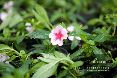 Centrascape - Annuals - Vinca