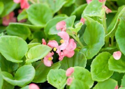Centrascape - Begonia 1