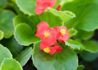 Centrascape - Begonia 2