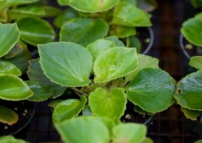 Centrascape - Begonia 4