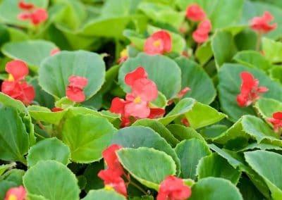 Centrascape - Begonia