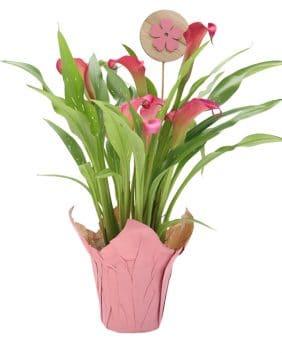 Centrascape - Calla - Pink Fantasy
