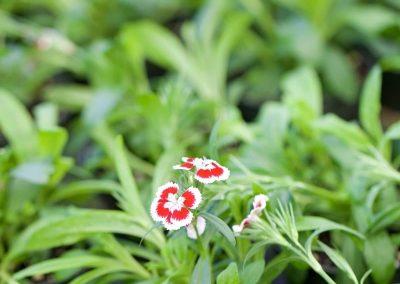 Centrascape - Dianthus 1