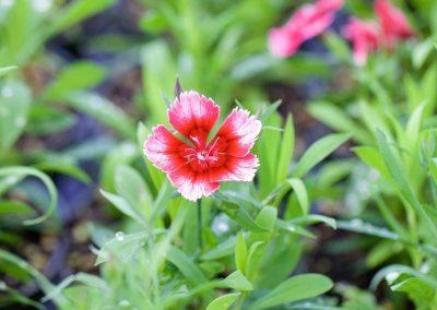 Centrascape - Dianthus 2