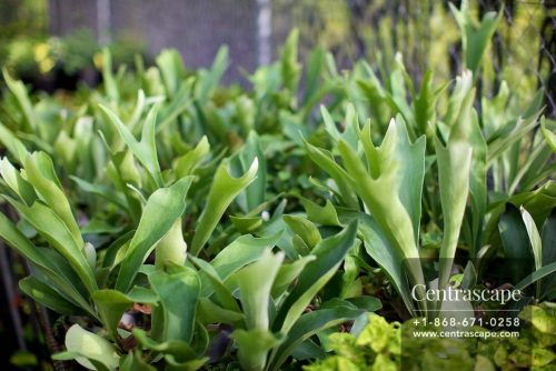 Centrascape - Fern - Stag-horn Fern