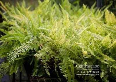 Centrascape - Ferns - Boston Fern