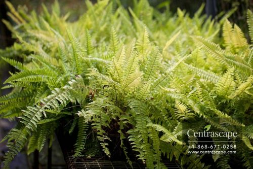 Centrascape - Ferns - Boston Fern