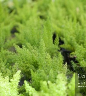Centrascape - Ferns - Foxtail