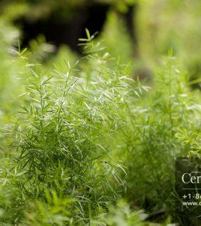 Centrascape - Ferns - Rice Fern