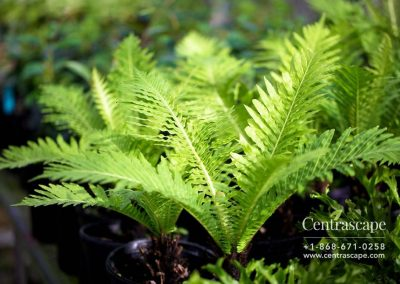 Centrascape - Ferns - Tree Fern