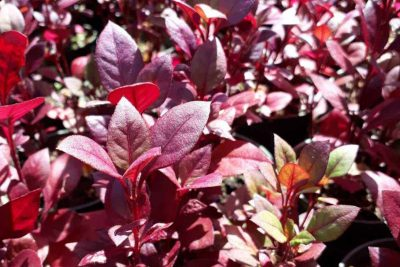 Centrascape - Groundcovers - Alternanthera Brazilian Red