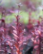 Centrascape - Groundcovers - Alternanthera Hong Kong