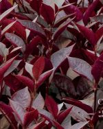 Centrascape - Groundcovers - Alternanthera Purple