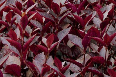 Centrascape - Groundcovers - Alternanthera Purple