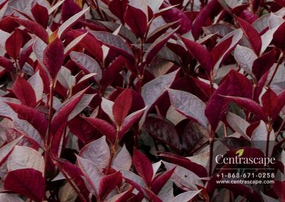 Centrascape---Groundcovers---Alternanthera-Purple