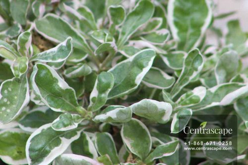 Centrascape - Groundcovers - Alternanthera Snowball