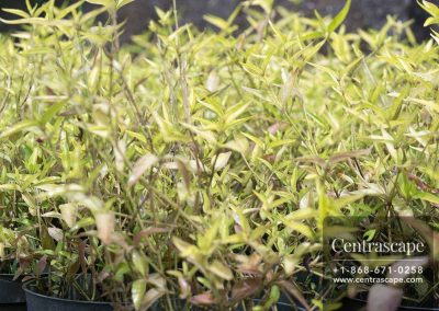 Centrascape---Groundcovers---Althernanthera-Yellow-Form
