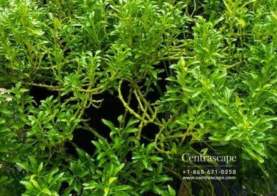 Centrascape - Groundcovers - Green and Gold Plants