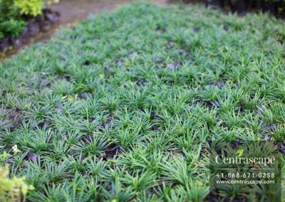 Centrascape---Groundcovers---Liriope-Grass-Green