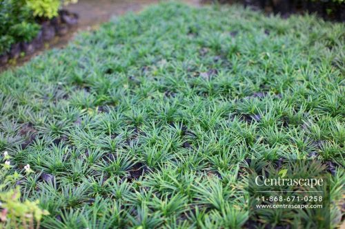 Centrascape - Groundcovers - Liriope Grass Green