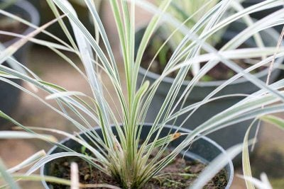 Centrascape - Groundcovers - Liriope White