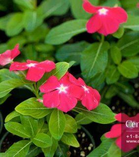 Centrascape - Groundcovers - Vinca1