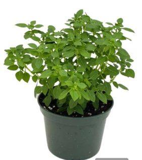 Centrascape - Herbs - Boxwood Basil