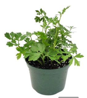 Centrascape - Herbs - Parsley