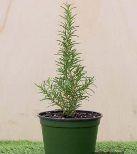 Centrascape - Herbs - Rosemary