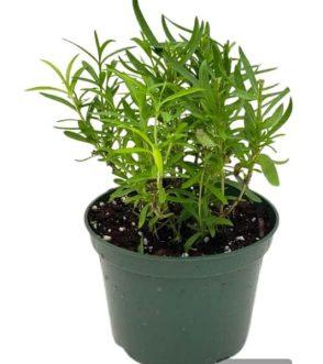 Centrascape - Herbs - Tarragon