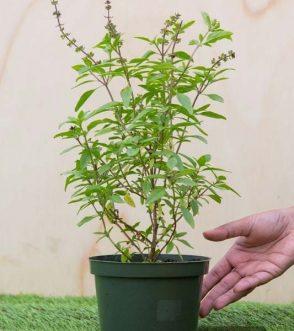 Centrascape - Herbs - Thai Basil
