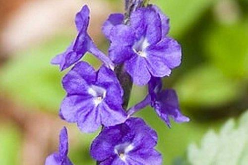 Centrascape - Herbs - Vervine