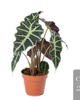 Centrascape - Houseplant - Alocasia