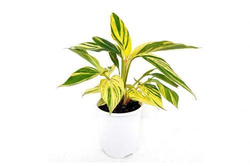 Centrascape - Houseplant - Alpinia