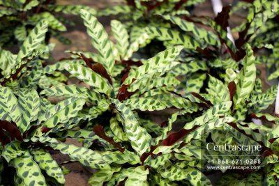 Centrascape - Houseplant - Calathea Lancifolia