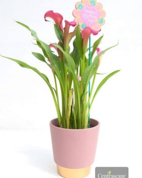 Centrascape - Houseplant - Calla Lilly - Ultra Elegant